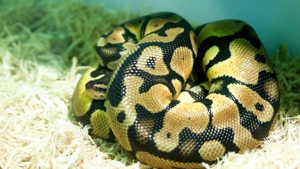 Why Do Your Ball Python Burrow?