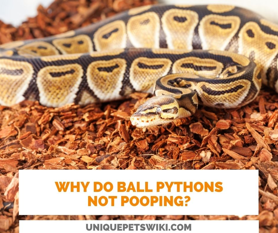 why do ball pythons not pooping?