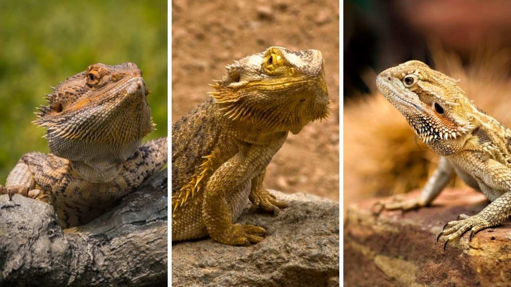 Bearded Dragon Boy Names
