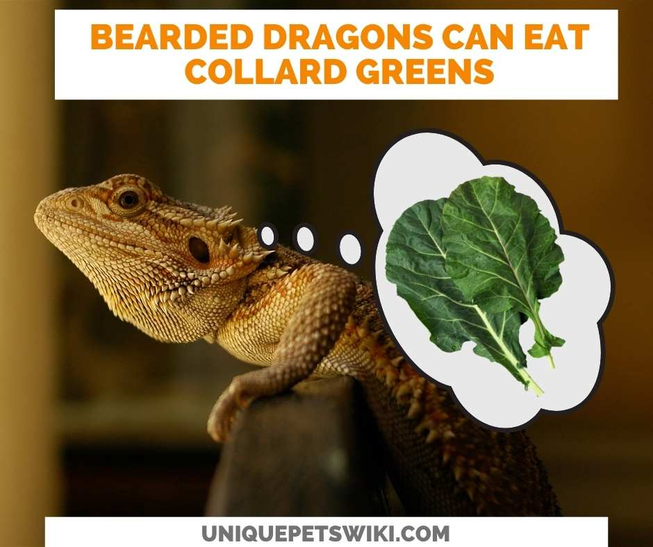 Can Bearded Dragons Eat Collard Greens?