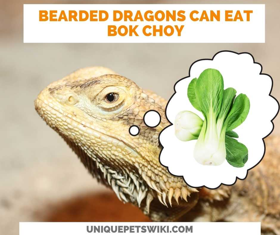 Can Bearded Dragons Eat Bok Choy?