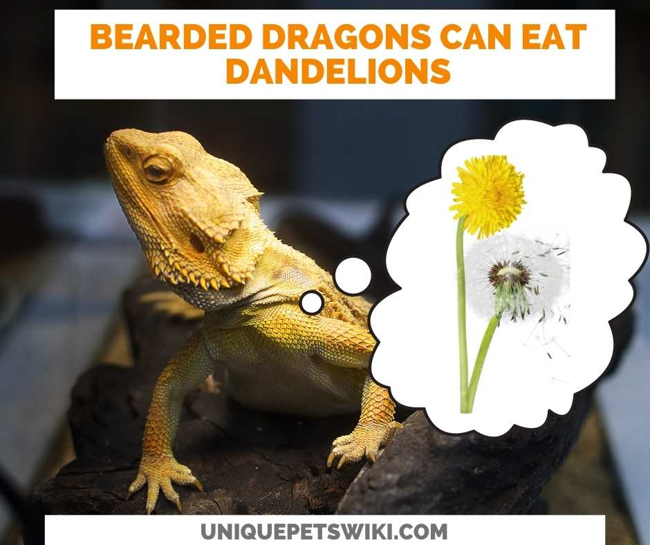 Can Bearded Dragons Eat Dandelions?