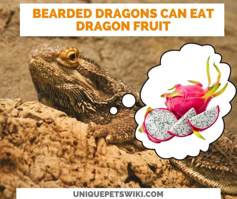 Can Bearded Dragons Eat Dragon Fruit?