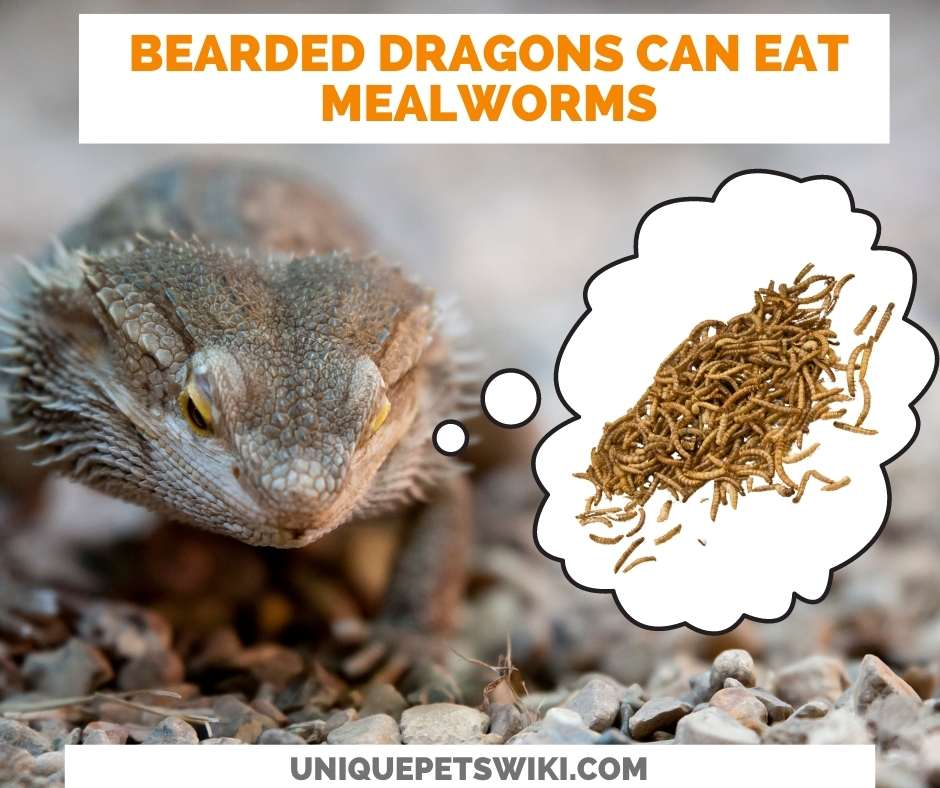 Can Bearded Dragons Eat Mealworms?