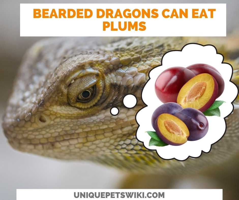 Can Bearded Dragons Eat Plums?