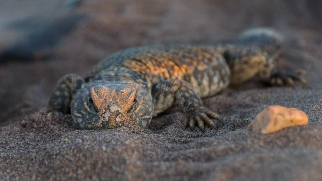 Colors Of Uromastyx Philbyi