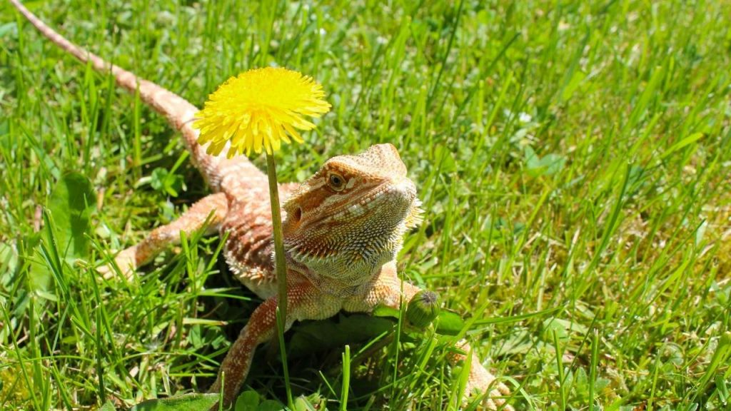 Funny Bearded Dragons Boy Names