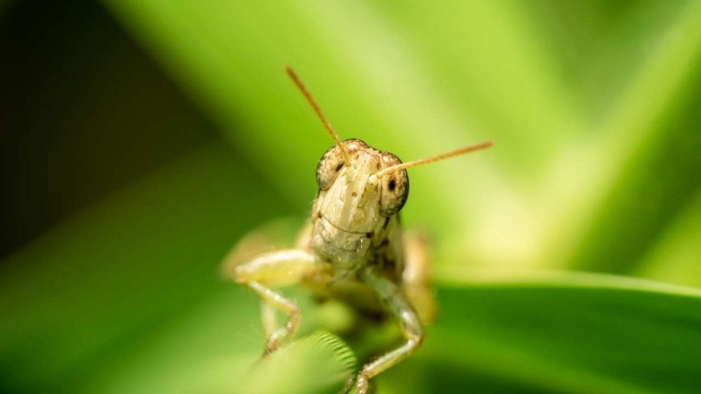 The Nutritional Aspect Of Grasshoppers