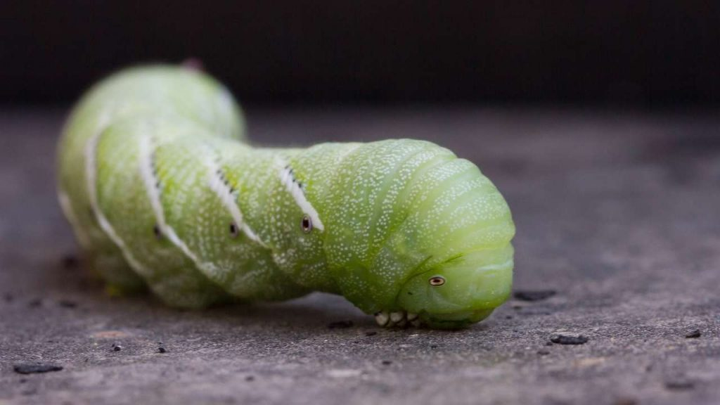 The Nutritional Information Of Hornworms?