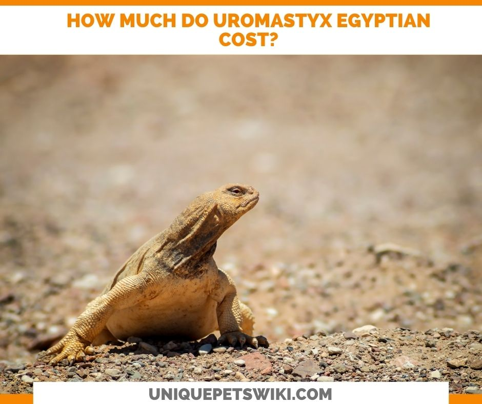 How Much Do Uromastyx Egyptian Cost?
