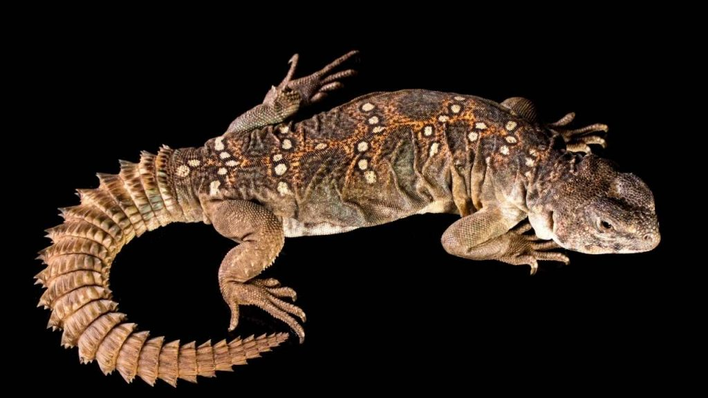 How Much Does Uromastyx Ocellata Cost?