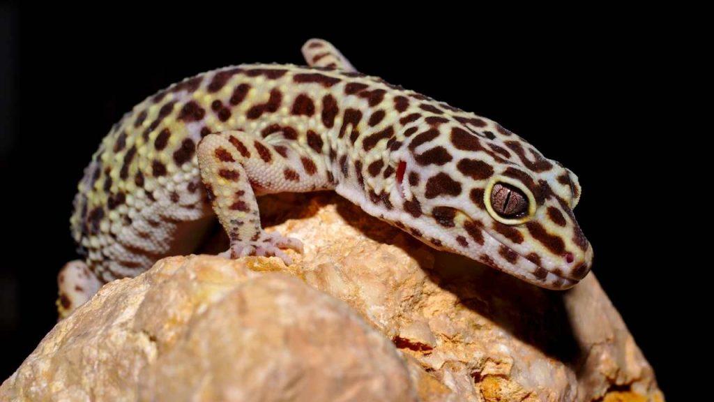 Leopard Gecko Noises