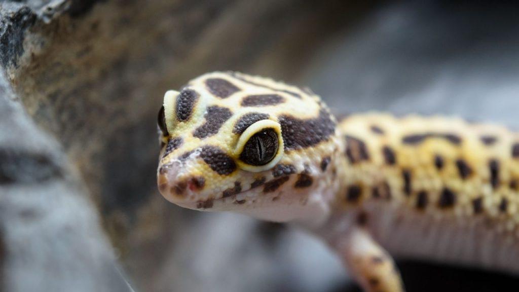 Do Loud Noises Scare Leopard Geckos?
