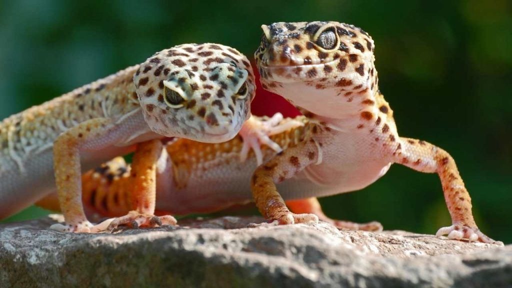 Does A Leopard Gecko Ovulate?