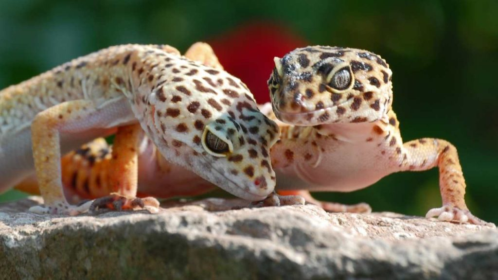 Taking Care Of Leopard Geckos After Mating