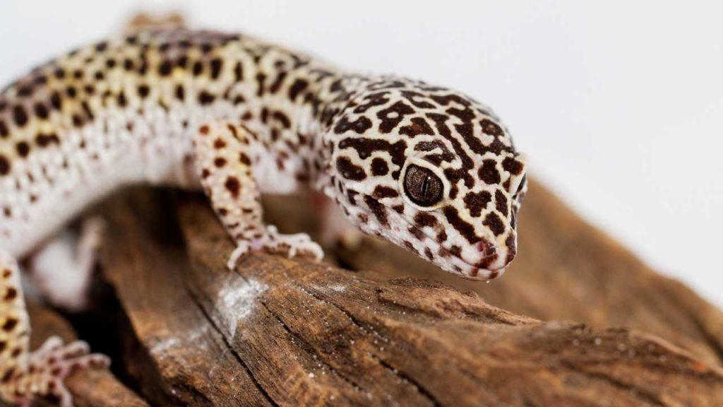 Leopard Gecko Ovulation