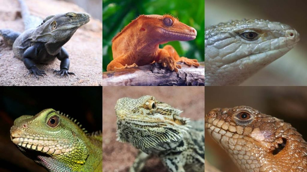 Lizards That Mainly Feed On Fruits
