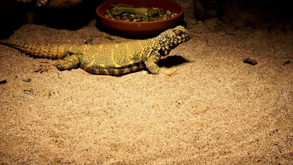 The Different Kinds Of Uromastyx Substrates