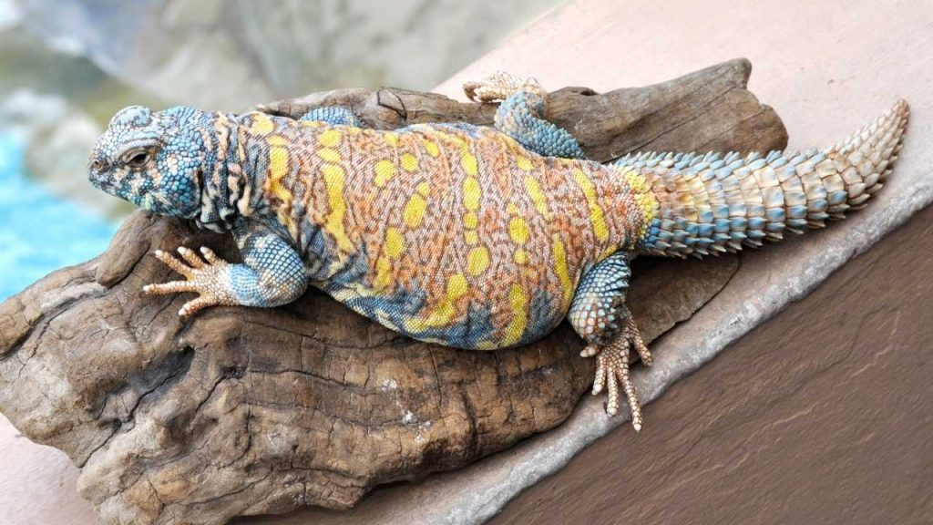 What Is Uromastyx Philbyi?