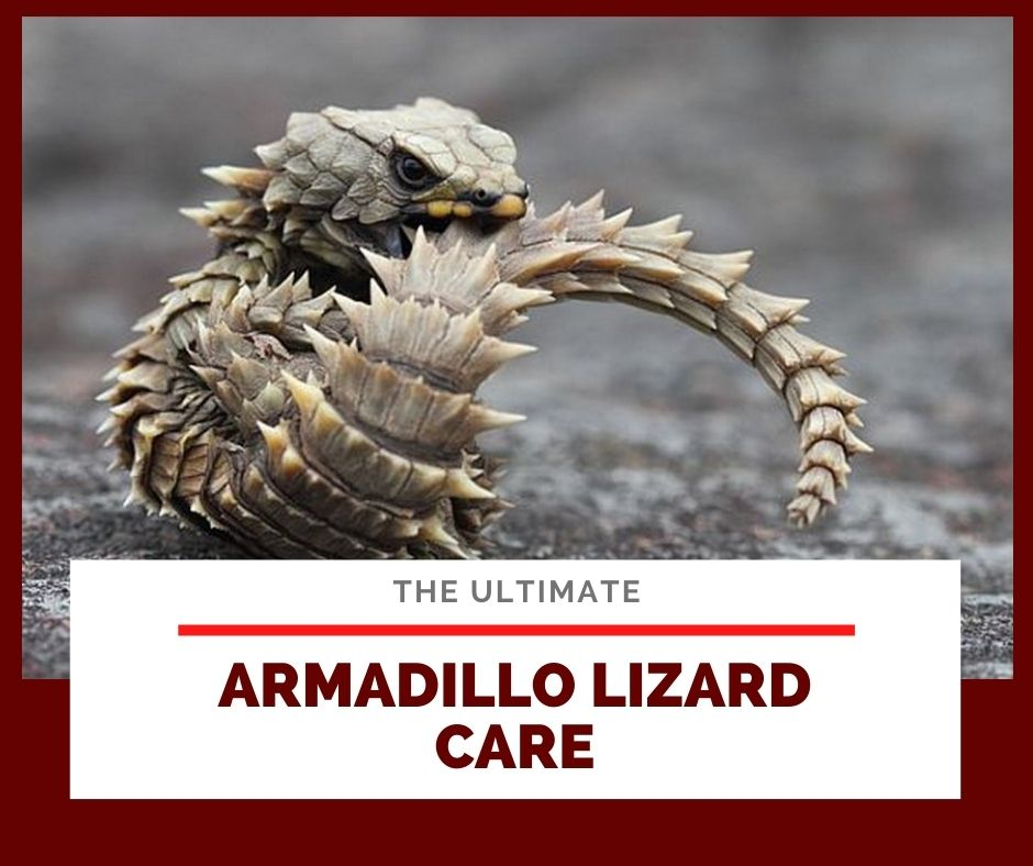 Ultimate Armadillo Lizard Care