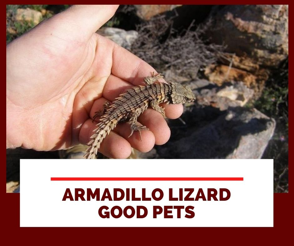 Why Do Armadillo Lizard Make Good Pets?