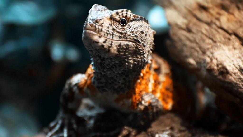 Chinese Crocodile Lizard Appearance