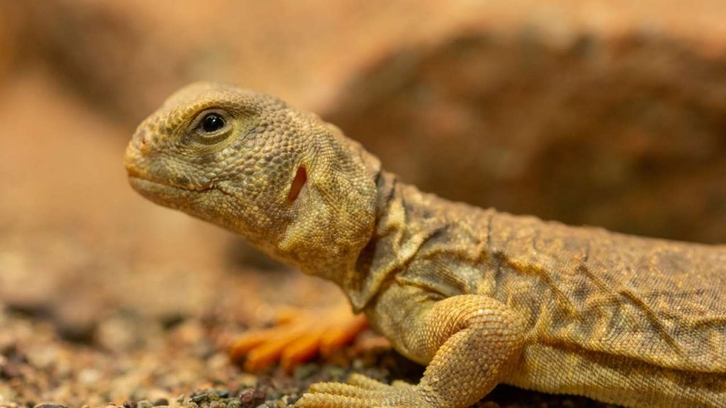 Uromastyx Princeps Colors