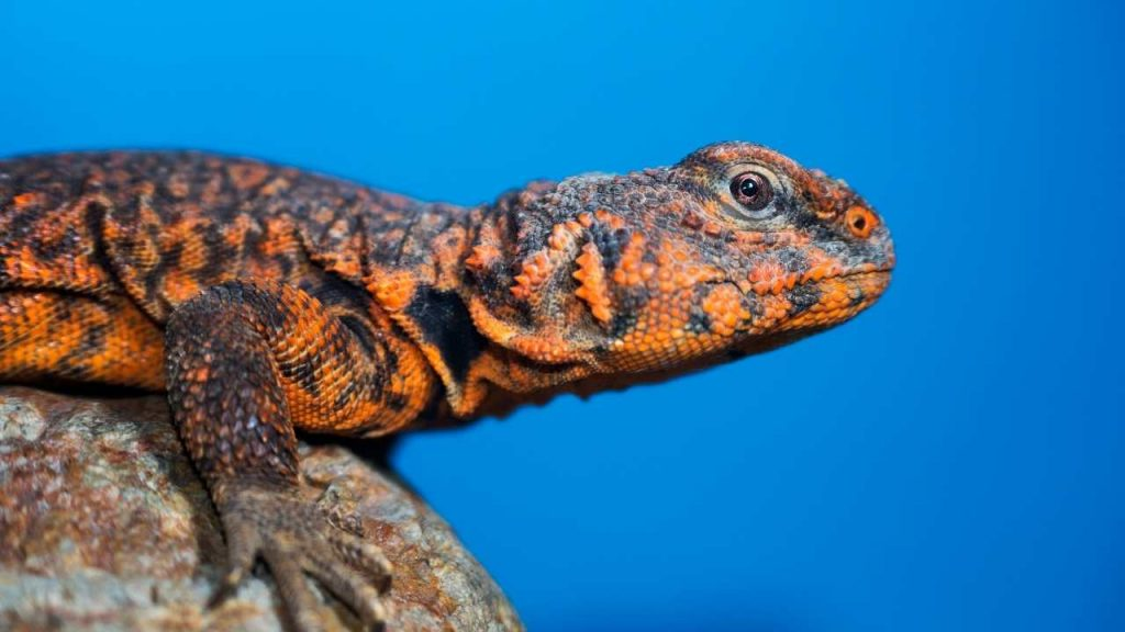 What Are Uromastyx Saharan?