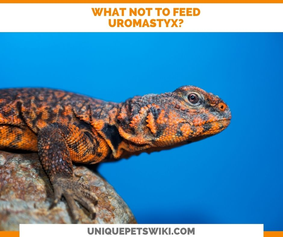 What Not To Feed Your Uromastyx?