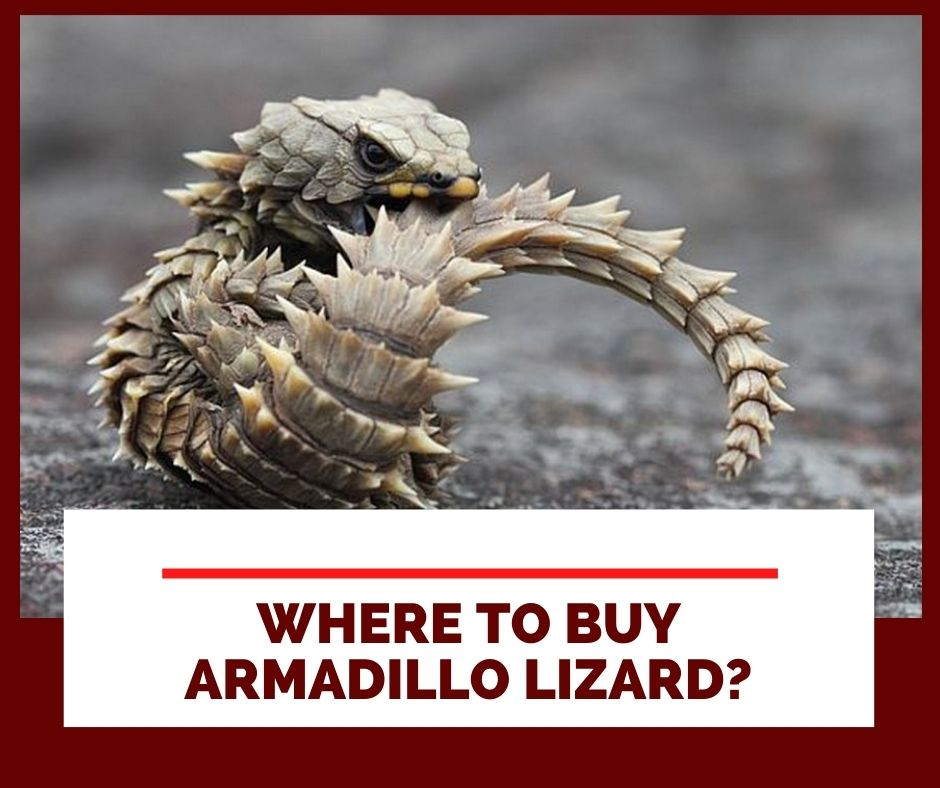 Where To Buy Armadillo Lizards?