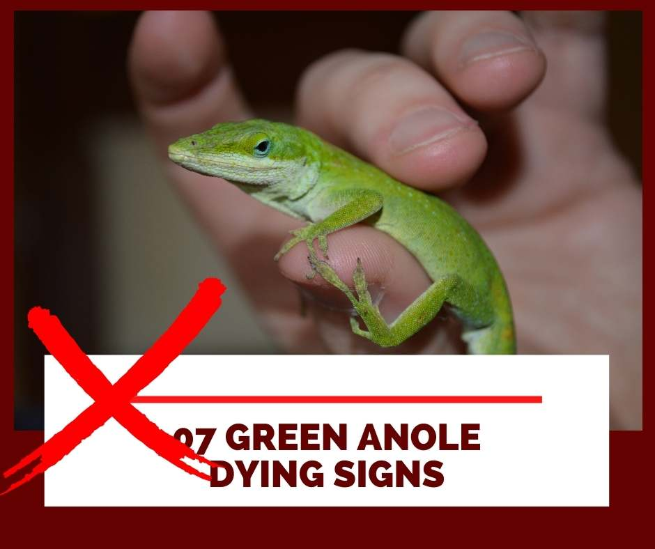 07 green anole dying signs
