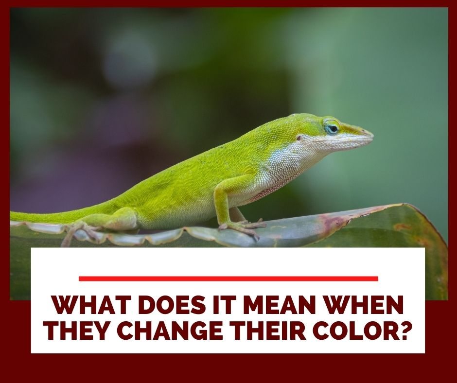 What Does It Mean When My Green Anole Changes Its Color To Brown And Why So?