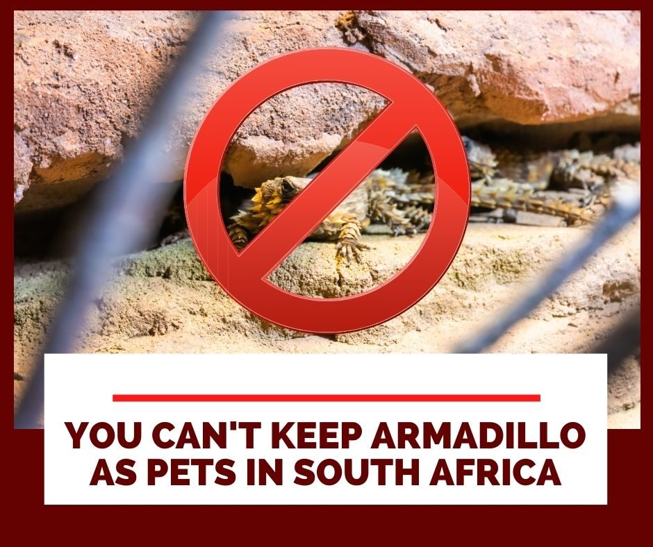 Illegal To Keep Armadillo Lizards As A Pet In South Africa