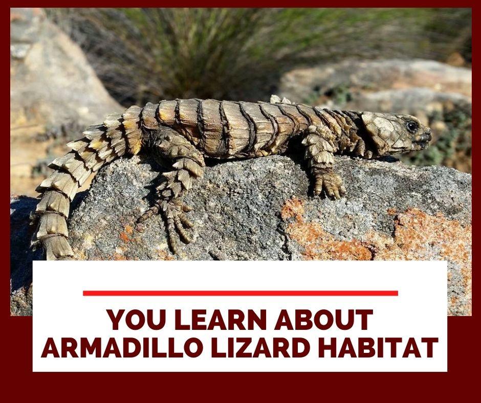You will learn about Armadillo Lizard habitat