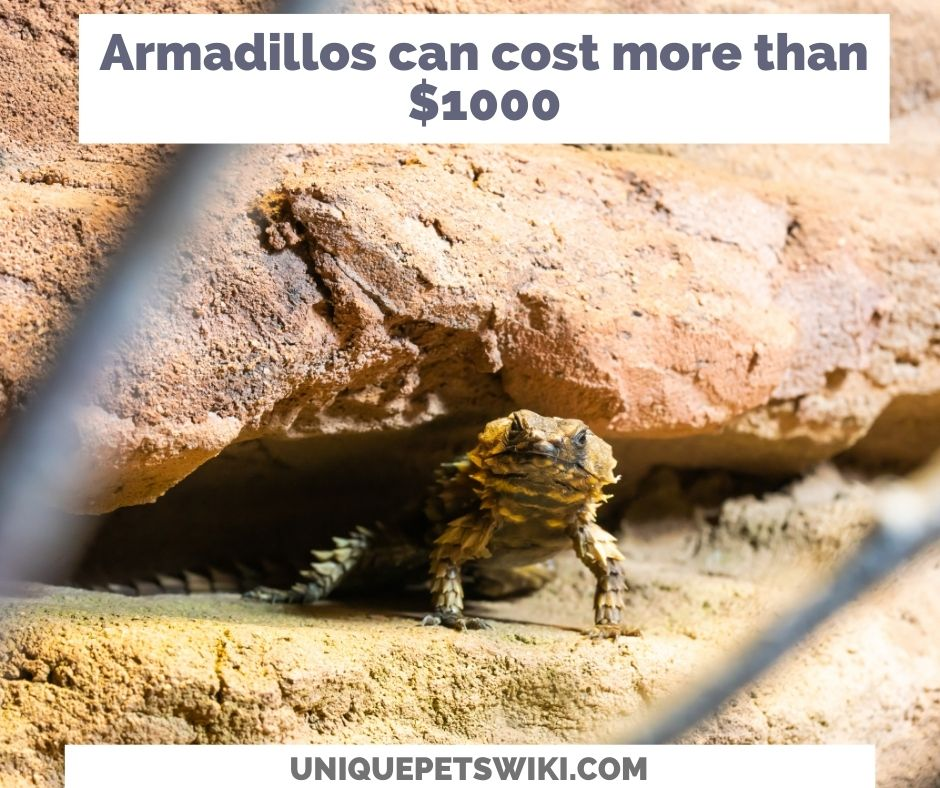 Armadillos can cost more than $1000
