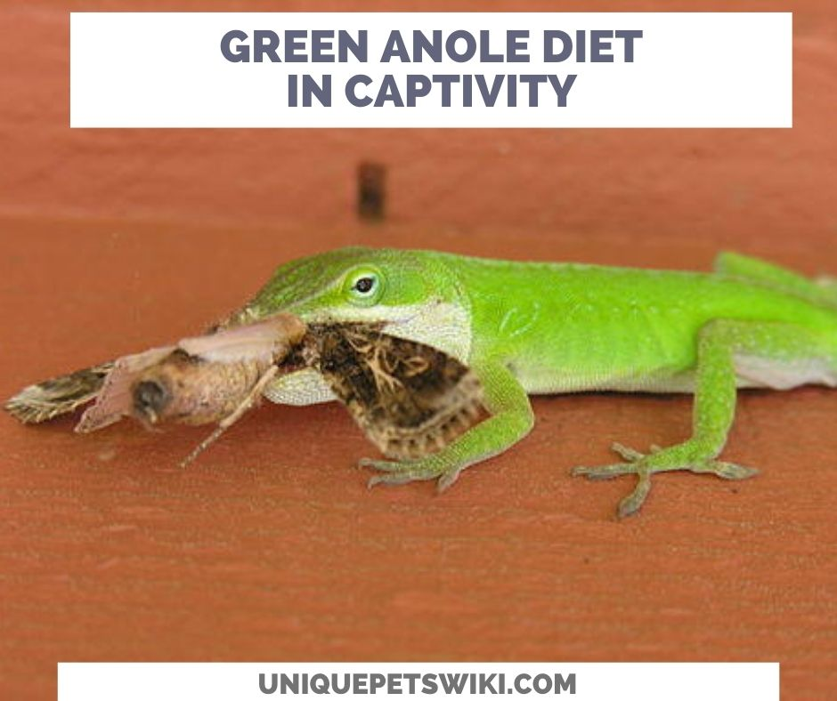 Green Anole Diet In Captivity