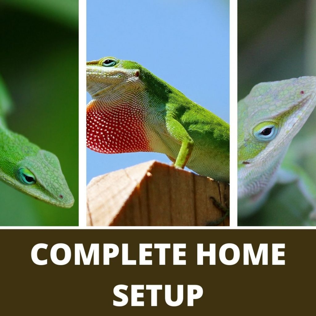 Home Setup For Green Anole