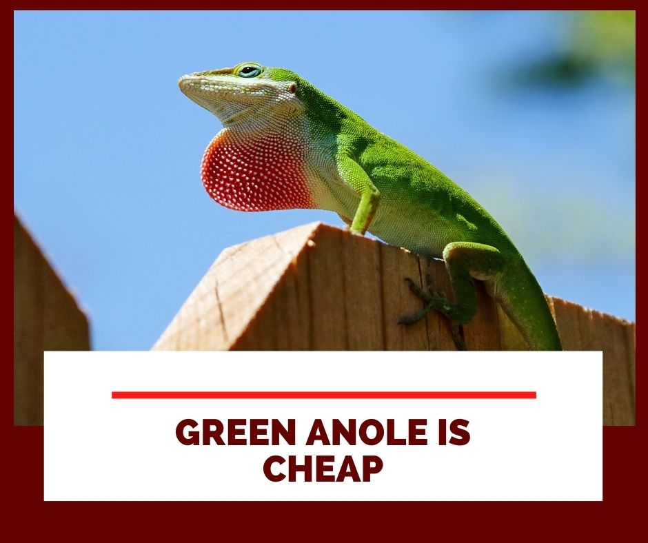 Green anole is cheap