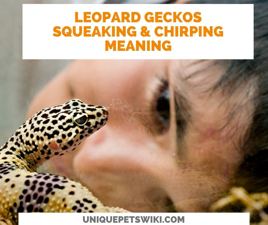Leopard geckos Chirping And Squeaking Noises meaning