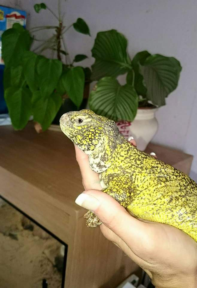 What Are Uromastyx Moroccan?