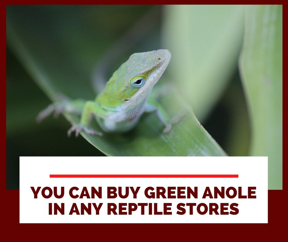 Where Can I Buy A Green Anole?