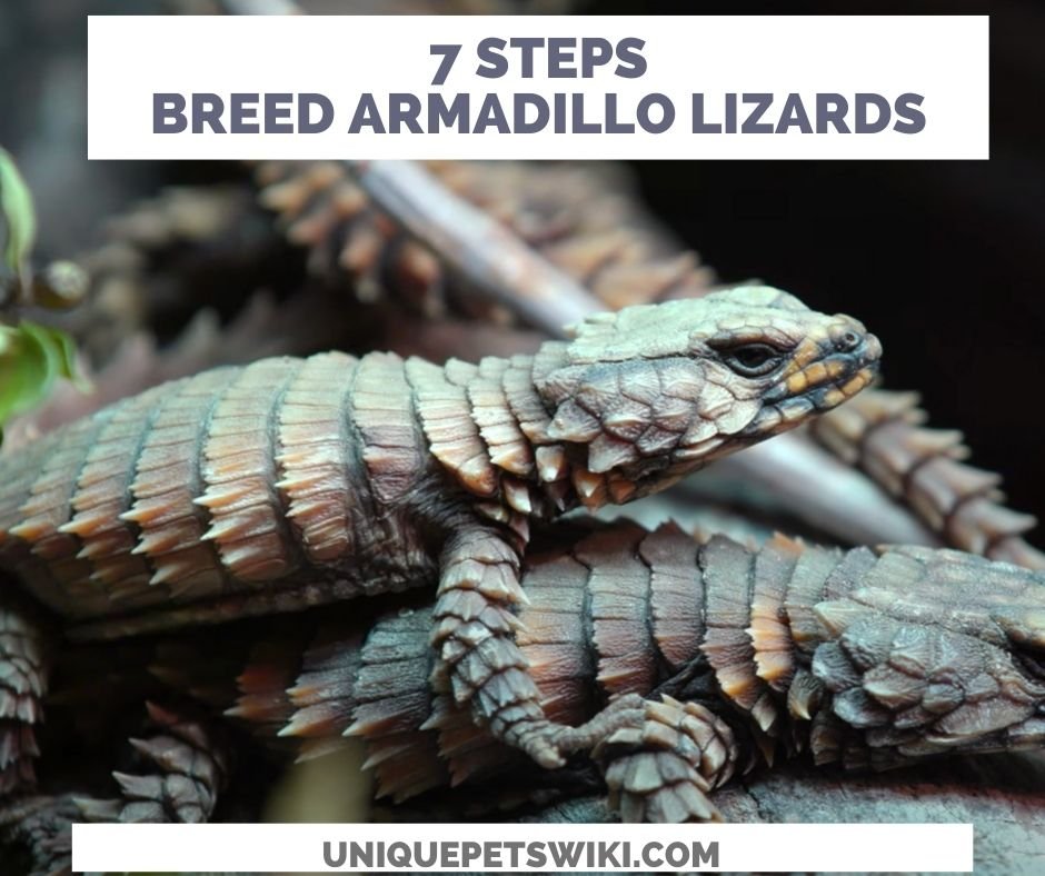 How To Breed Armadillo Lizard In 7 Steps