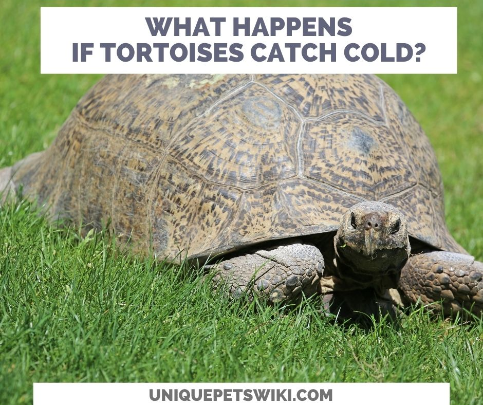 What Happens When A Tortoise Catches A Cold?