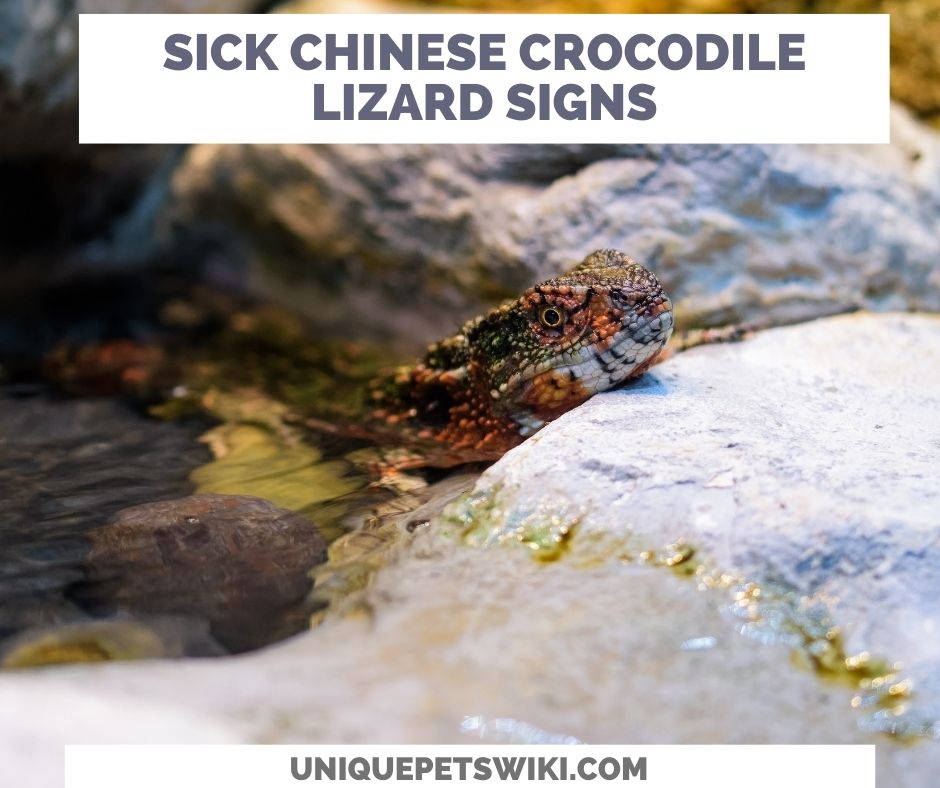 Signs Of A Sick Chinese Crocodile Lizard