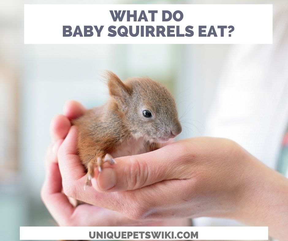 what do baby squirrels eat?