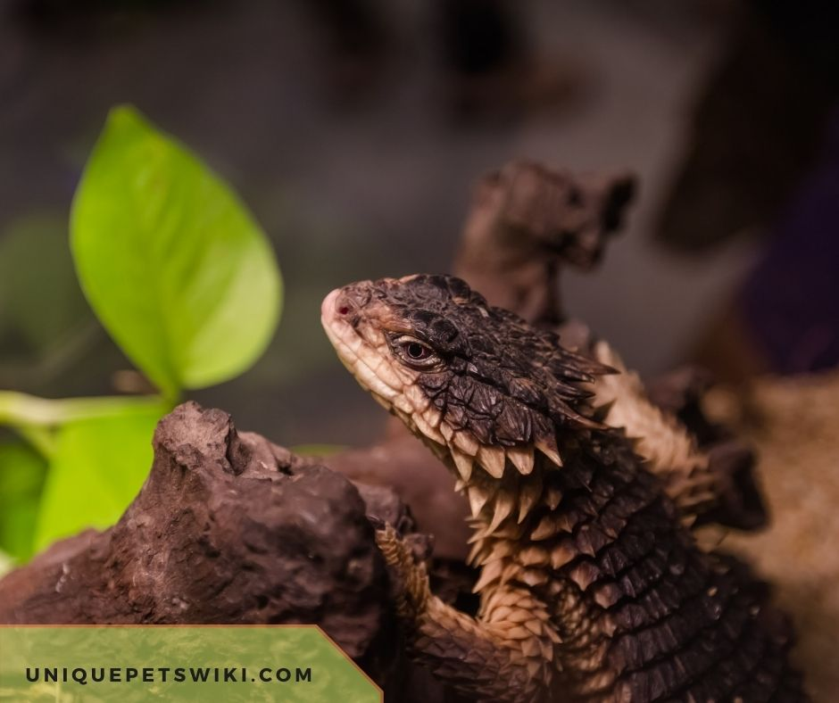 Do Armadillo Lizards Die Of Old Age?