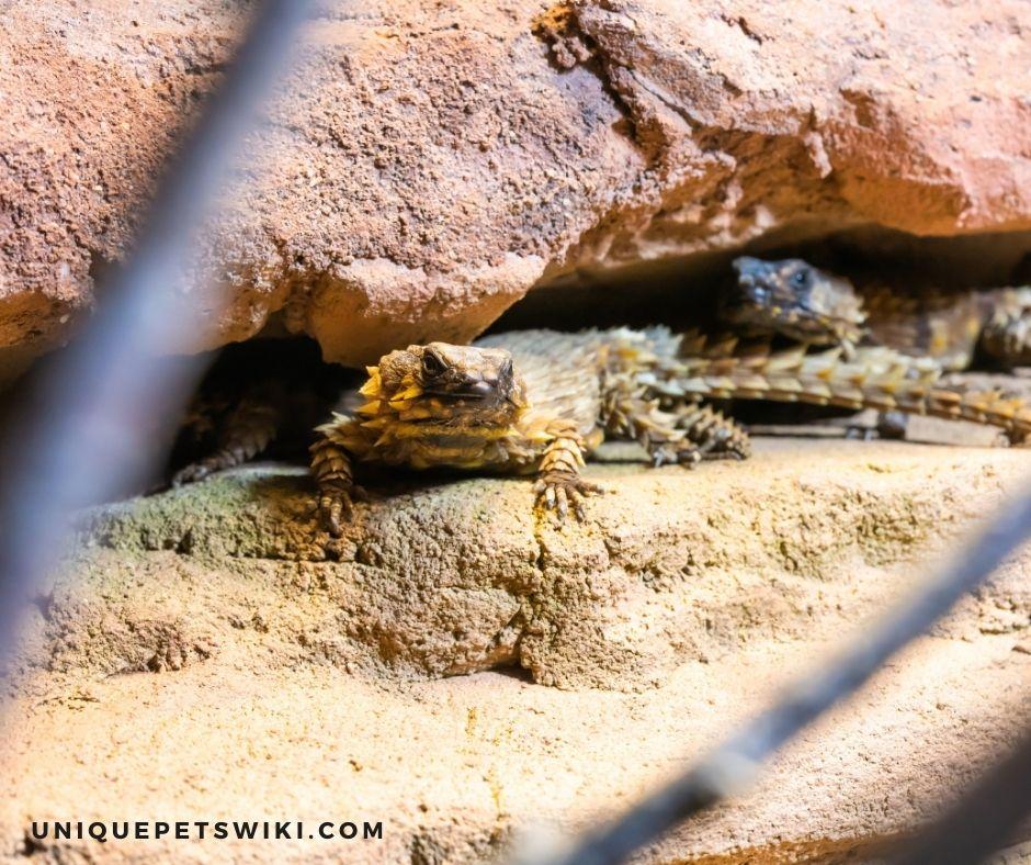 A Healthy Armadillo Lizard