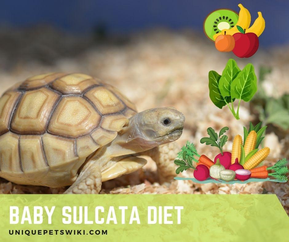 What Do Baby Sulcata Tortoise Eat?