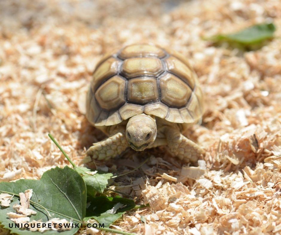 Baby Sulcata Tortoise Diet
