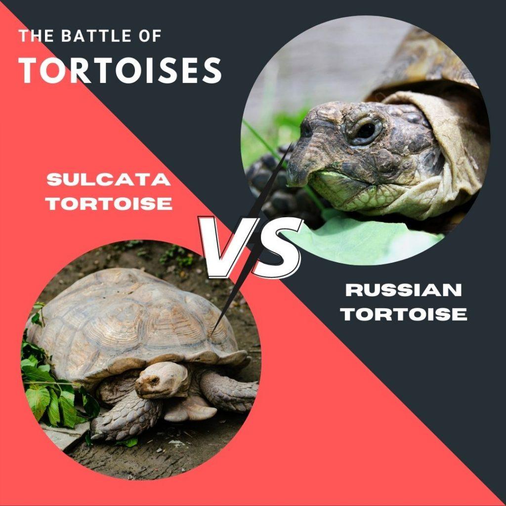 Sulcata Vs Russian Tortoise As Pets